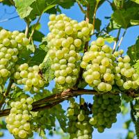 szőlő skopelos, bor skopelos, hagyományos termékek skopelos