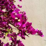 Skopelos furutrær agnontas