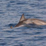 Skopelos see-uitstappie dolfyn van skopelos